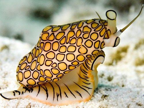 black sea snail facts